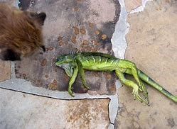 Frozen Iguanas, Wow!