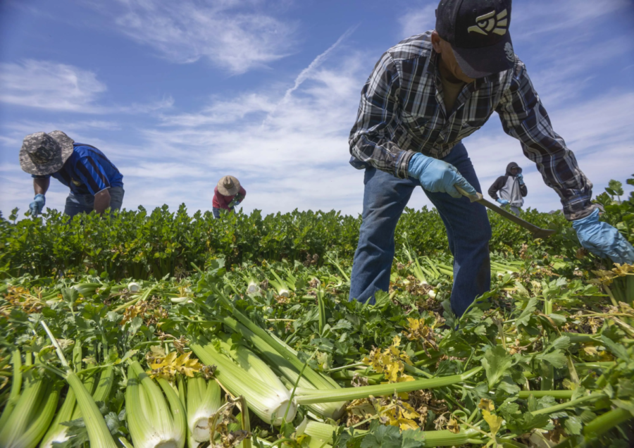 Migrant agricultural workers pick celery in Yuma.